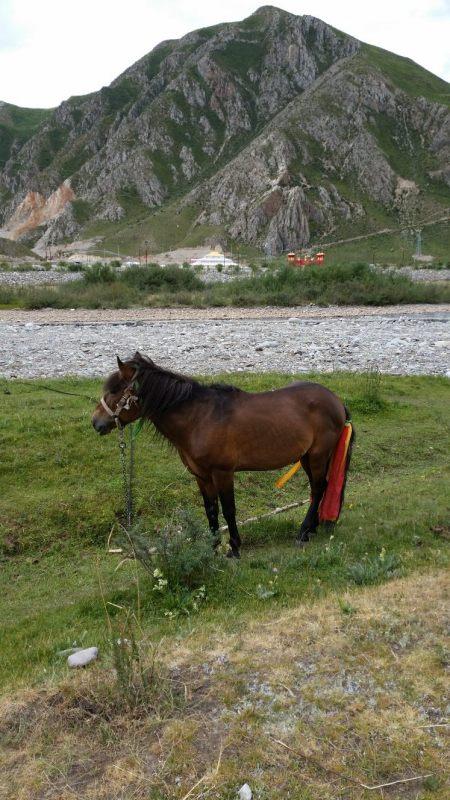 Tibetan pony.